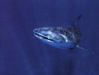 le requin baleine 40011