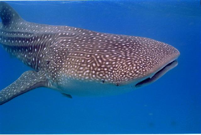 le requin baleine 44411