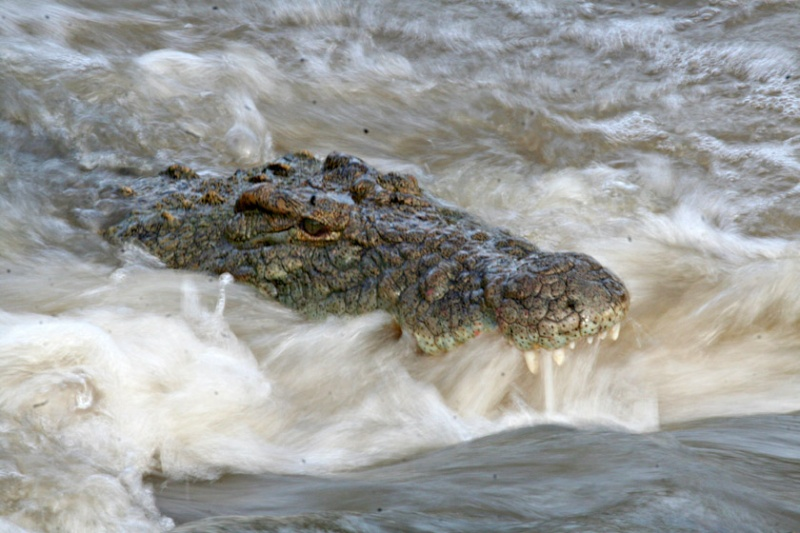 Crocodile du Nil 609l10