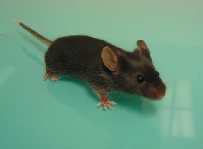 la souris Articl10
