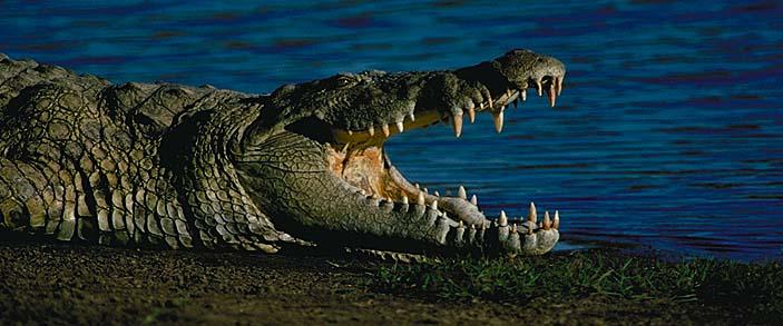 Crocodile du Nil Croco510