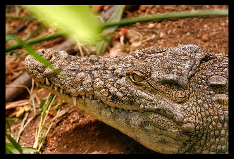 Crocodile du Nil Crocod10