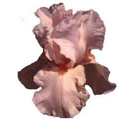 L'iris Lys0010