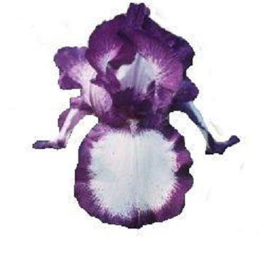 L'iris Lys0410