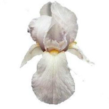 L'iris Lys0510