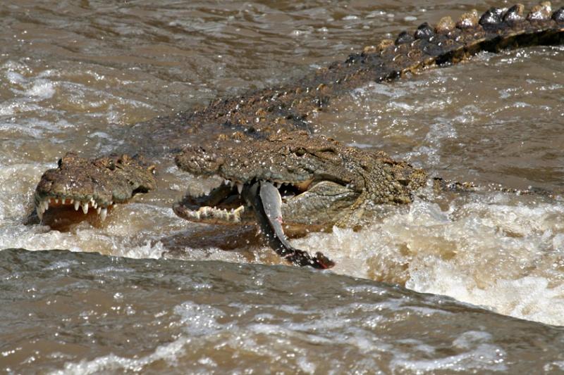 Crocodile du Nil Mange12