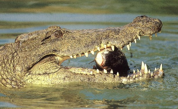 Crocodile du Nil Mange13