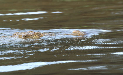 Crocodile du Nil Nage10