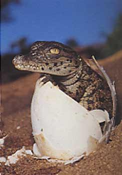 Crocodile du Nil Nil_0010