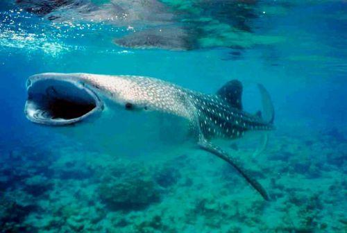 le requin baleine Requin10