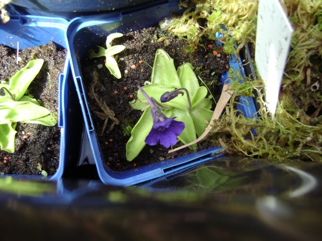 Grandiflora et ses fleurs Dsc04112