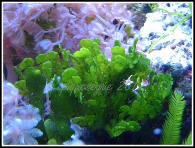 Algues calcaire Halimeda 1-bac_11