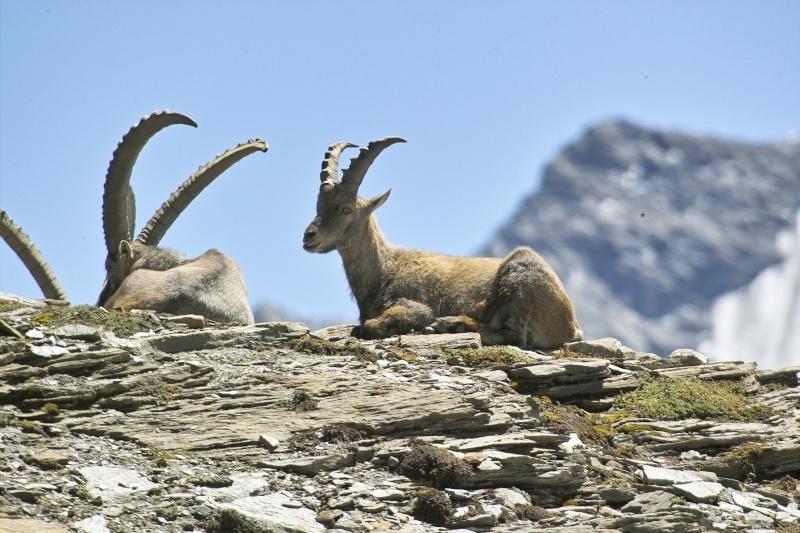 La faune en Haute-Tarentaise Img02210