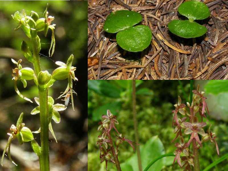 Neottia cordata (Listère cordée) Cordat10