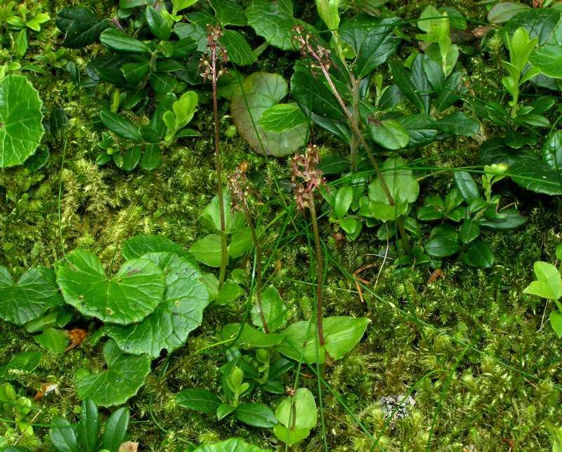 Neottia cordata (Listère cordée) Cormil10
