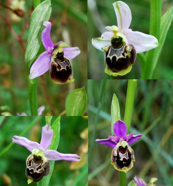 les ophrys tardifs de la région (84 et 26) Gresiv11