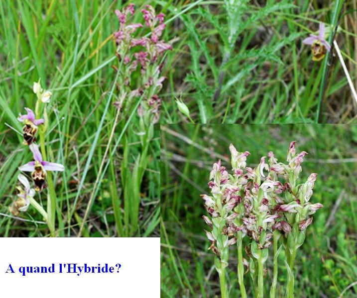 les ophrys tardifs de la région (84 et 26) Gresiv12