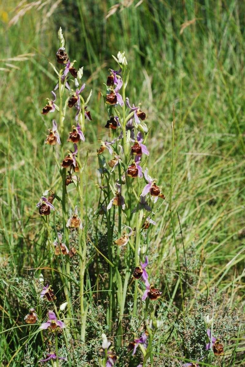 les ophrys tardifs de la région (84 et 26) Ophrys25