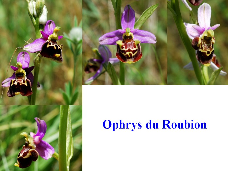 Ophrys fuciflora subsp. montiliensis Ophrys31