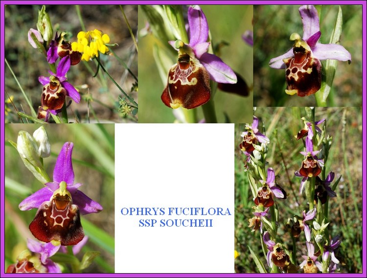 Ophrys fuciflora subsp souchei Souche10