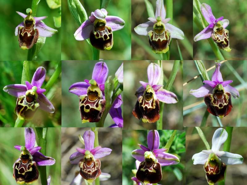 les ophrys tardifs de la région (84 et 26) - Page 2 Tardif10