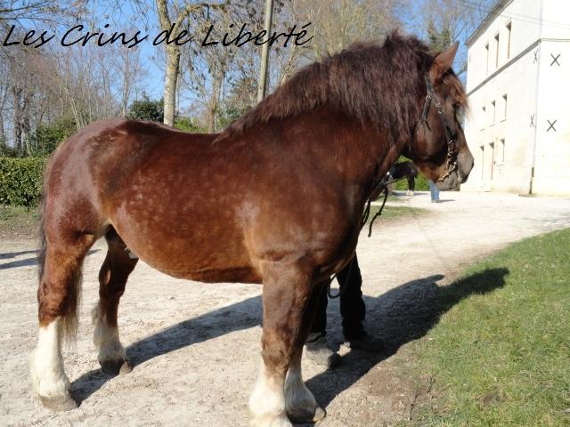 Dpt 17, Brutus, trait breton, réservé par Sergei58 !!!!!!!!!!!!!!!!!! (Juin 2012) - Page 2 Dsc03715