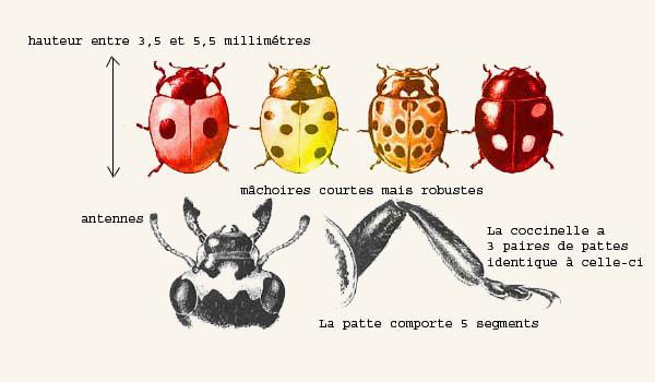 Les insectes auxiliaires, amis de votre jardin Coccin10