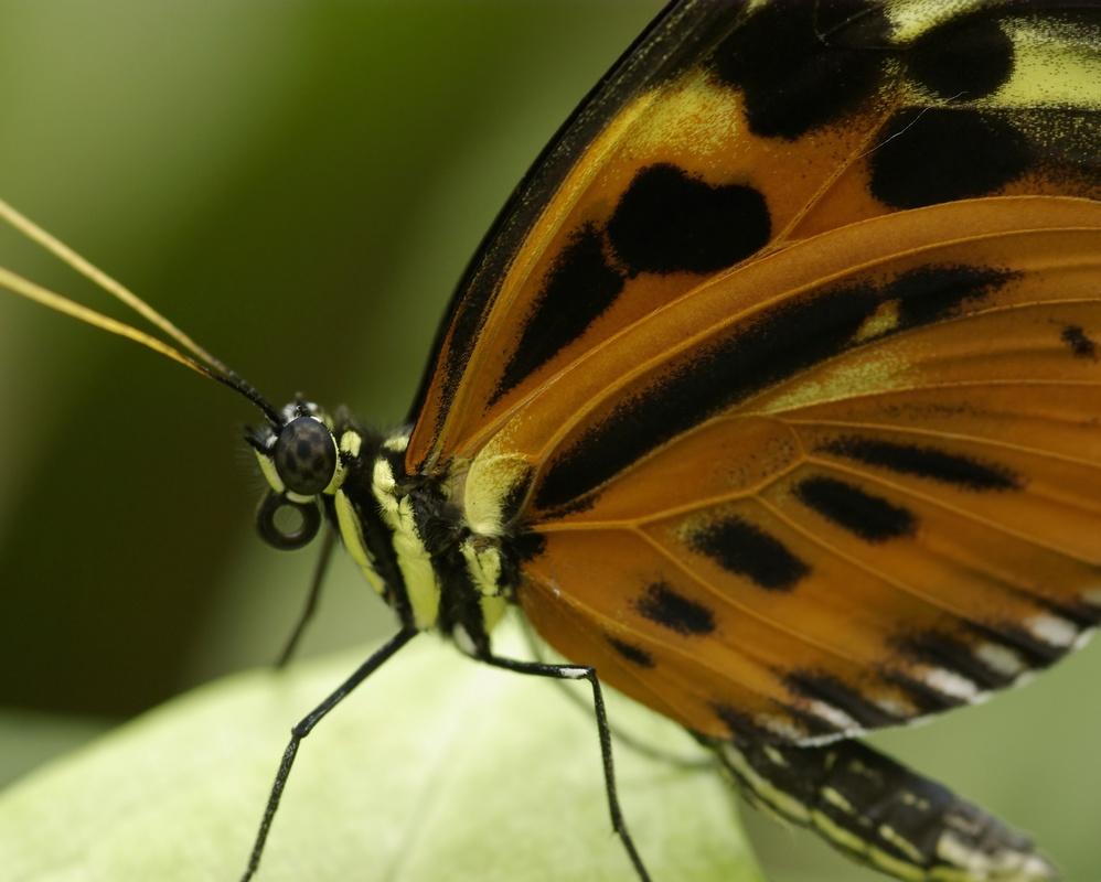 Rencontre papillons exotiques à Vannes 11 juin 2011 - Page 4 _igp3010