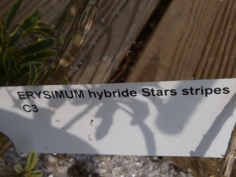 celle ci Erysinum nhybride Stars Stripes P1080511
