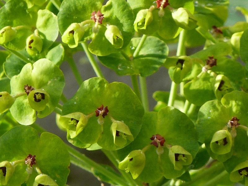 euphorbe à identifier (1)  Euphorbe characias P1090319