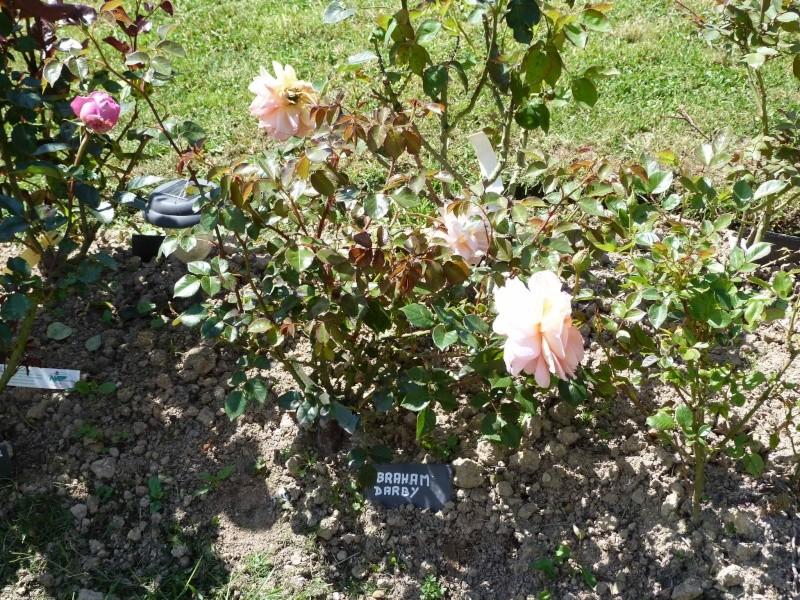 rosiers divers et variés P1100252