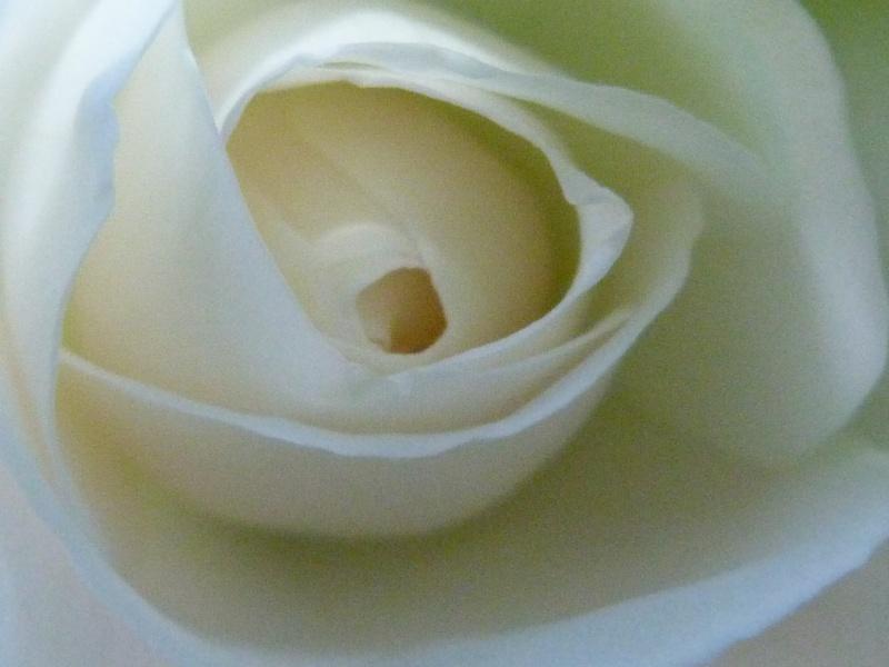 rosiers divers et variés P1100317