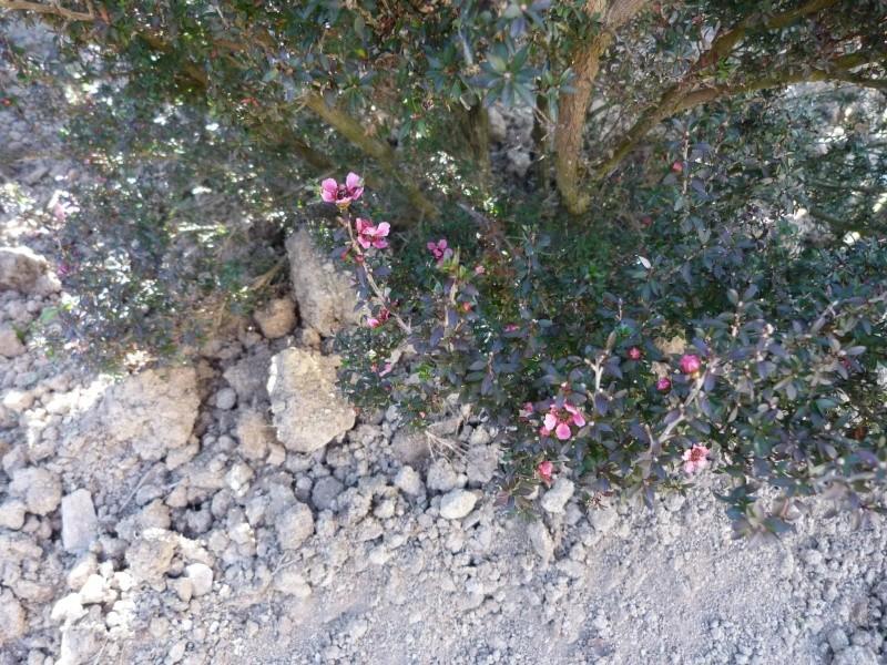 Leptospermum P1100422