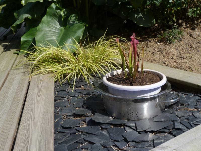 Sarracenia Pourpre  P1110315