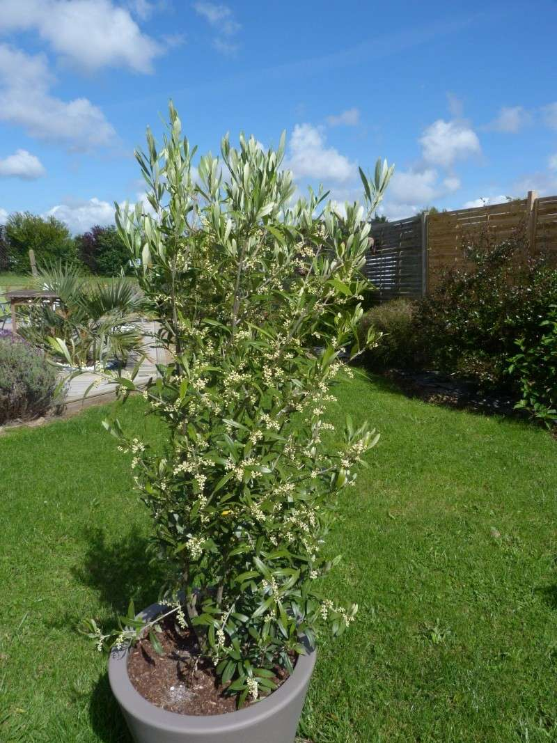 olivier en pot P1110319