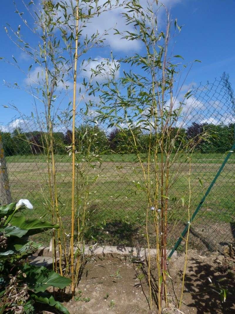 Le Bambou envahissant!! P1110323