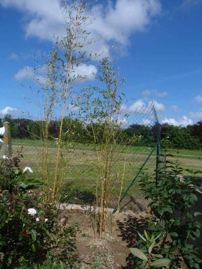 Le Bambou envahissant!! P1110324
