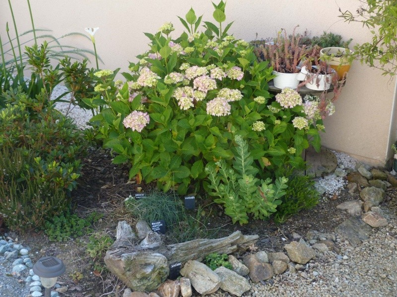 hortensia - Page 5 P1110325