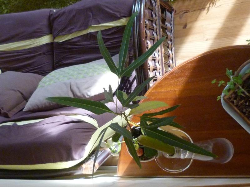 mes plantes d'intérieurs P1200319