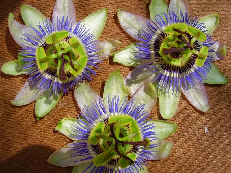 flores de caerulea Pa190011