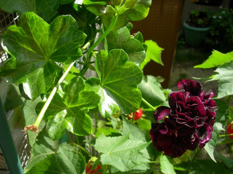 Pelargonium peltatum couleur aubergine très sombre Dscn5710