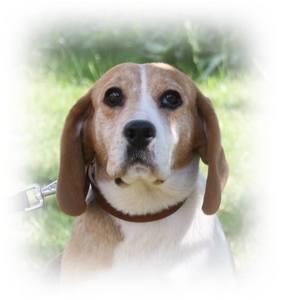 AUBADE, femelle beagle, 6 ans, SPA de Chamarande (91) Anm_ph13