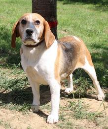 AUBADE, femelle beagle, 6 ans, SPA de Chamarande (91) Imf_co13