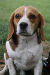 KISS COOL, beagle mâle, 3 ans (91) Imf_co17