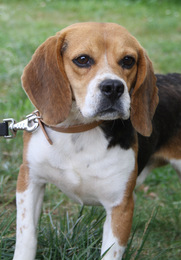 DODGE, beagle mâle, 2 ans (91) Imf_co18