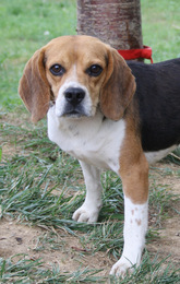 DODGE, beagle mâle, 2 ans (91) Imf_co19
