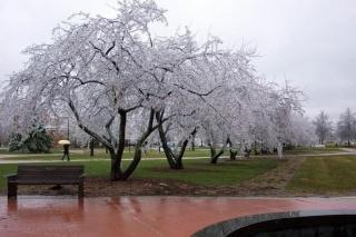 عندما تتجمد اشجار الكرز ( منظر رآآئع ) 609a2e11