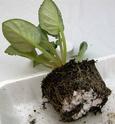 Урок 3 Омолаживающая пересадка взрослого растения 110
