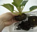Урок 3 Омолаживающая пересадка взрослого растения 610