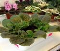 Урок 1. Вегетативное размножение сенполии, листовым черенком. F1810